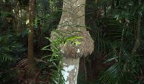 Bangalow palm, Victoria Park Nature Reserve. Artist: NSW Government.