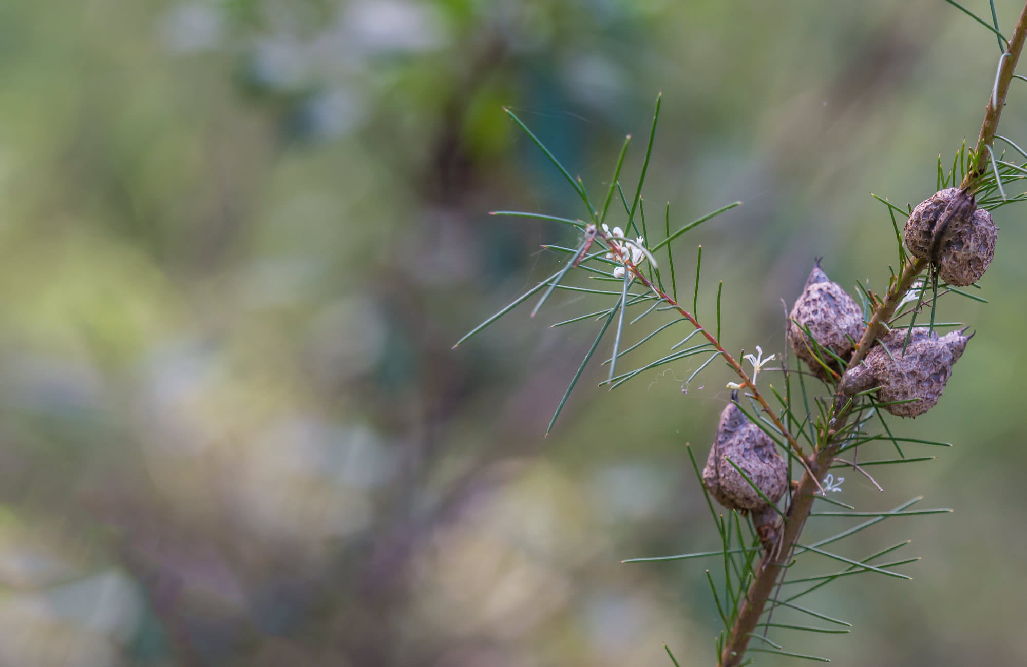 Wildflowers, Wallumatta loop trail. Photo: John Spencer