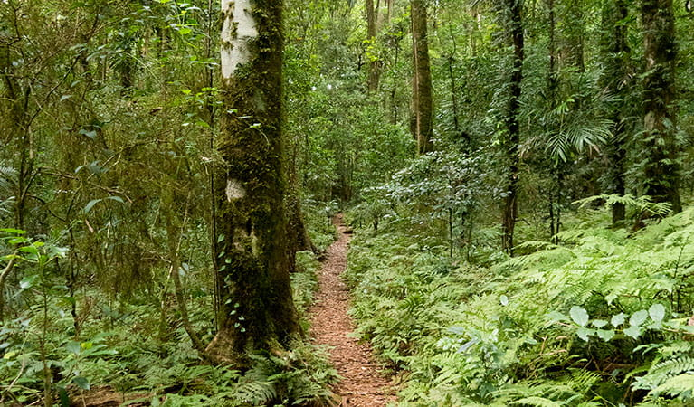 A path through trees along Coachwood walking track in Washpool National Park. Photo: Leah Pippos © DPIE