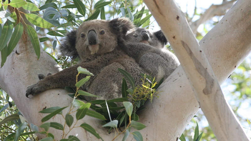 Koalas in a tree. Photo: D Lunney.
