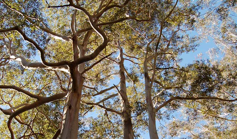 Tree canopy, Watagans National Park