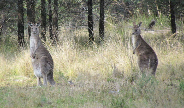 Eatern Grey Kangaroos, Berthas Gully Track, Weddin Mountains National Park. Photo: M Cooper/NSW Government