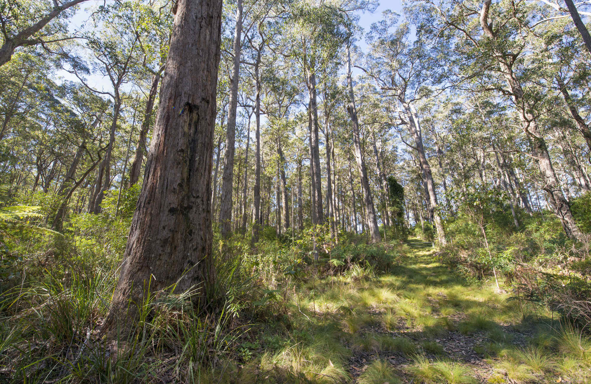 Forest view on Carabeen track with large tree in the foreground.  John Spencer/OEH.