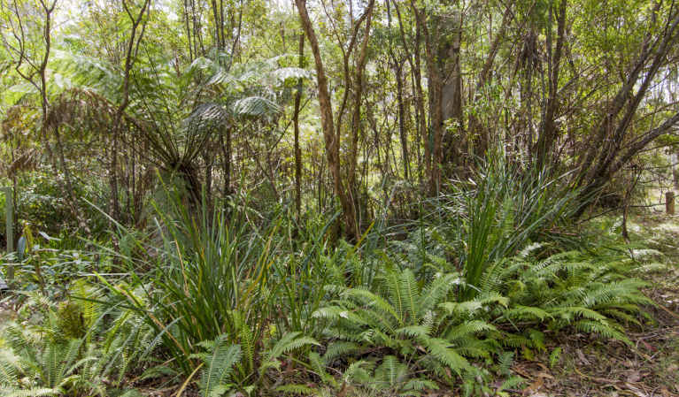 View of ferns, tall grasses and shrubs on forest floor. Photo: John Spencer/OEH.