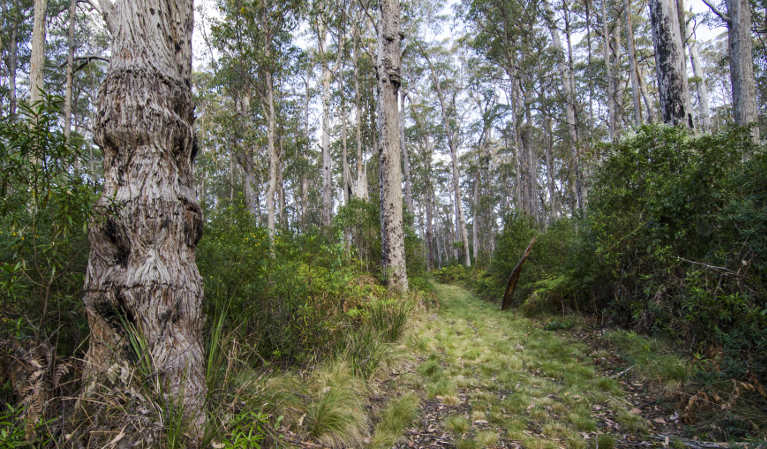 View of grassy forest track of Carabeen walk beneath a canopy of tall trees. Photo: John Spencer/OEH