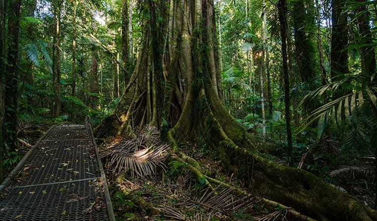 Waterfall walk strangler fig, Willi Willi National Park. Photo: John Spencer