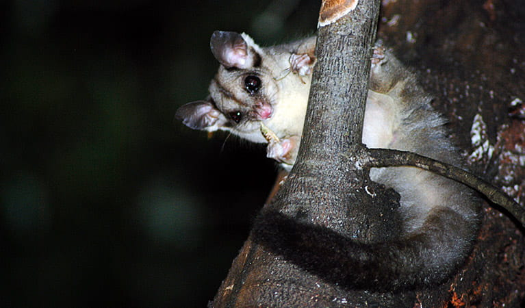 A nocturnal squirrel glider on a tree branch, Wollemi National Park. Photo: Jeff Betteridge/OEH.