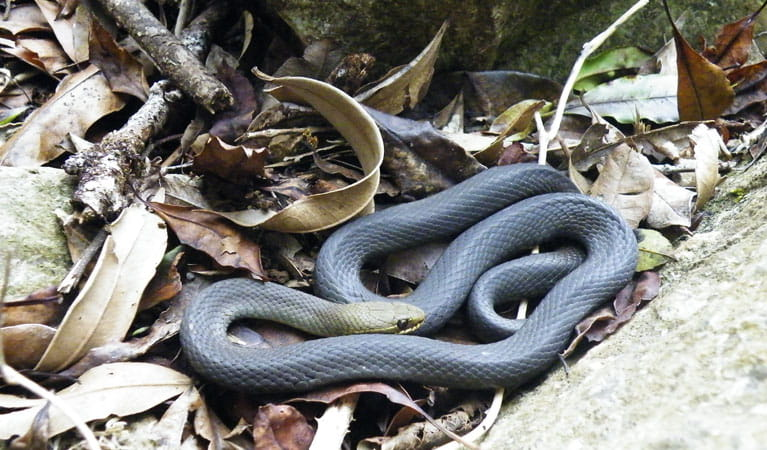 Black bellied marsh snake, Wollumbin National Park. Photo: D Hofmeyer.