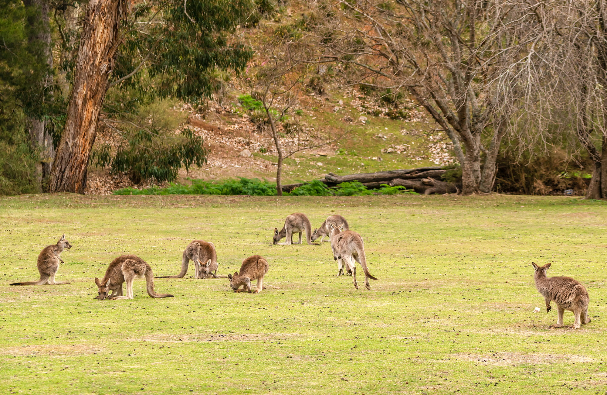 Kangaroos feeding on grass at Wombeyan Caves campground. Photo: OEH/John Spencer