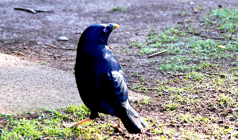 Satin bowerbird at Wombeyan Caves campground. Photo: OEH/Natasha Webb
