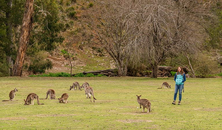 Person walking near a mob of kangaroos at Wombeyan Caves campground. Photo: OEH/John Spencer