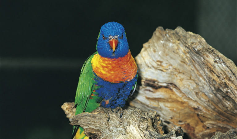 Rainbow lorikeet. Photo: John Spencer