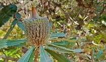 Native Australian flora in Wyrrabalong National Park. Photo: John Spencer
