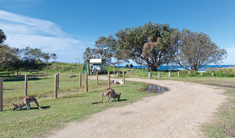 Kangaroos graze at Red Cliff campground in Yuraygir National Park. Photo: Robert Cleary/DPIE
