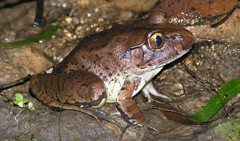 Giant barred frog (Mixophyes iteratus), Bindarri National Park. Photo: OEH