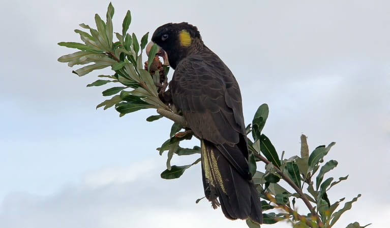Yellow tailed black cockatoo (Calyptorhynchus funereus), Blue Gum Hills Regional Park. Photo: Peter Sherratt