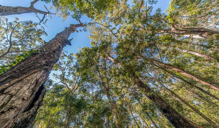 Looking up the tree canopy, Brimbin Nature Reserve. Photo: John Spencer