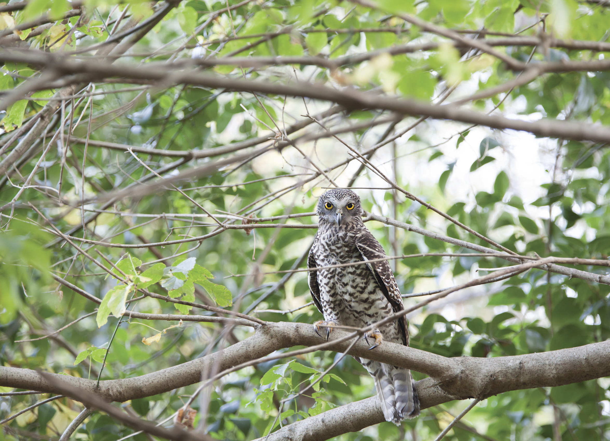 Powerful owl. Photo: Rosie Nicolai/OEH