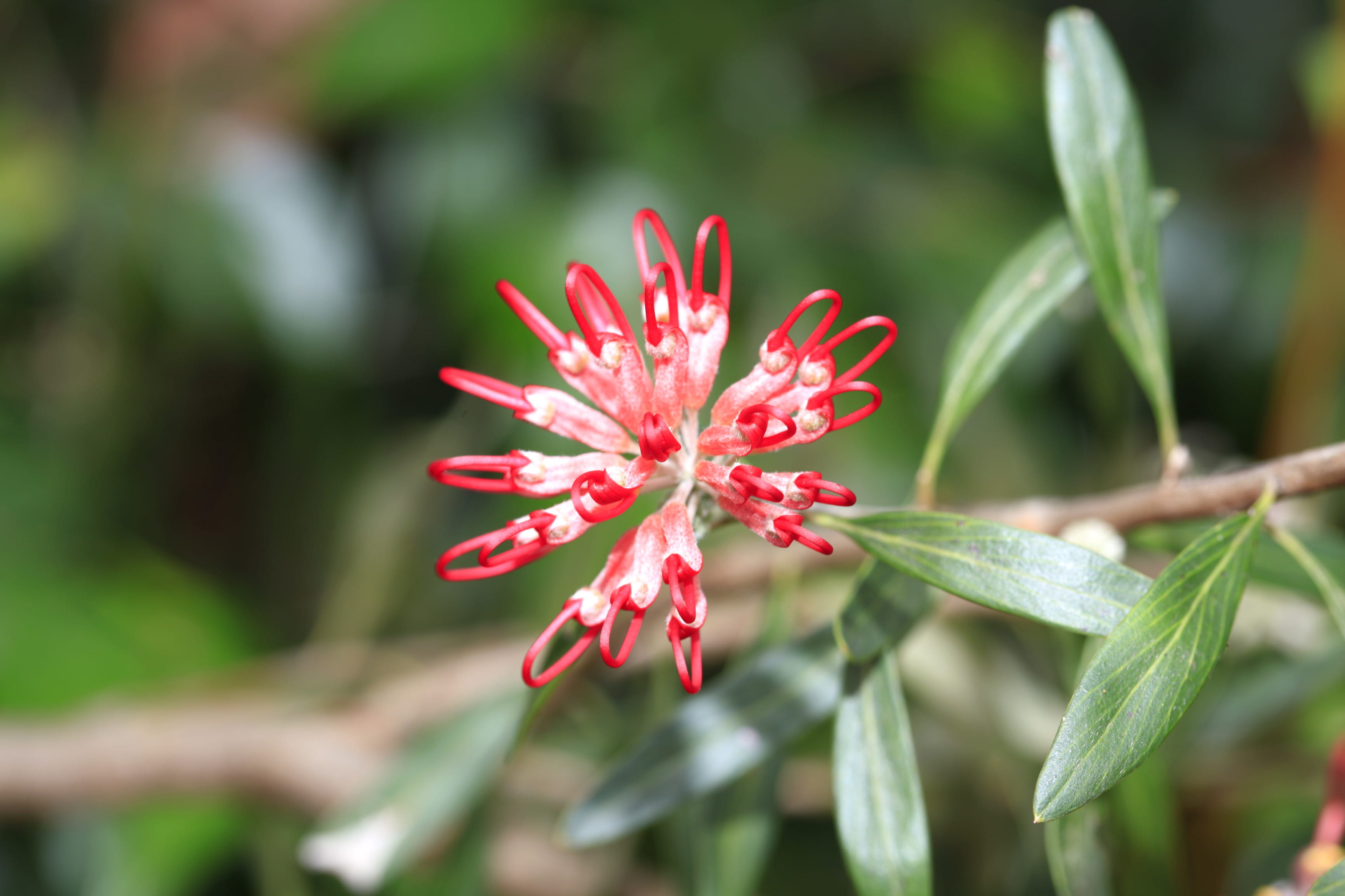 Red spider flower in Brisbane Water National Park. Photo: Rosie Nicolai/OEH