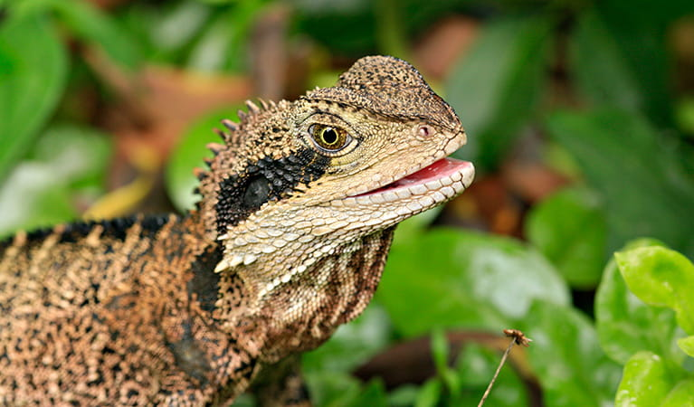 Eastern water dragon (Physignathus lesueurii), Budderoo National Park. Photo: Rosie Nicolai