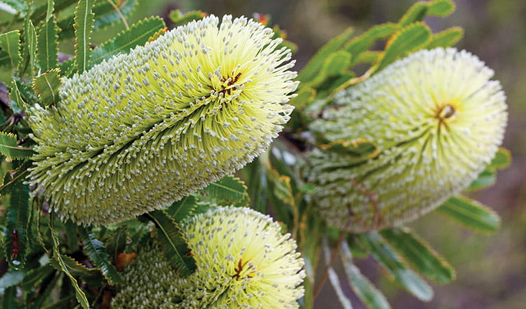 Silver banksia (Banksia marginata), Bundjalung National Park. Photo: Rob Cleary/Seen Australia
