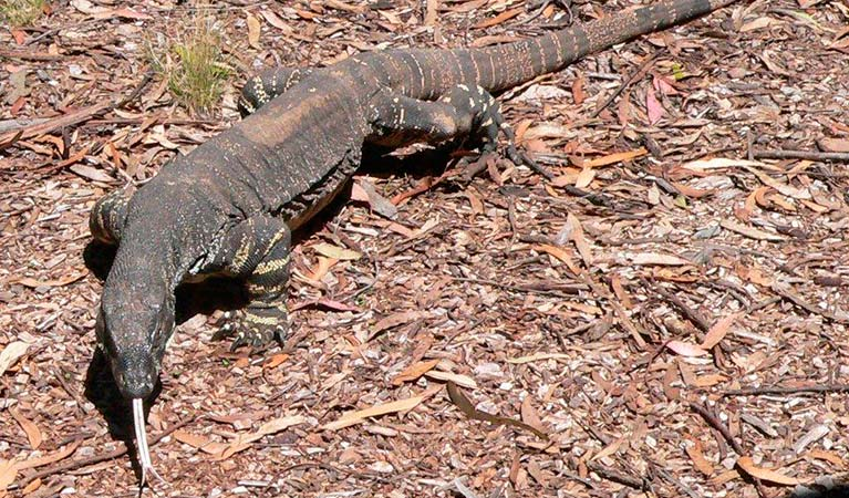 Lace Monitor, Bungonia National Park. Photo: Mark Selmes