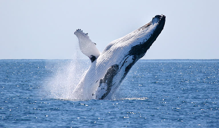 Humpback whale (Megaptera novaeangliae). Photo: Wayne G Reynolds