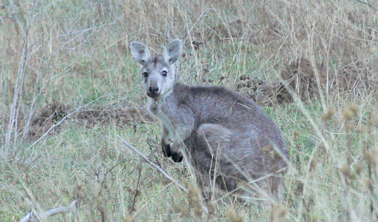 Eastern grey kangaroo (Macropus giganteus), Capertee National Park. Photo: Michelle Barton