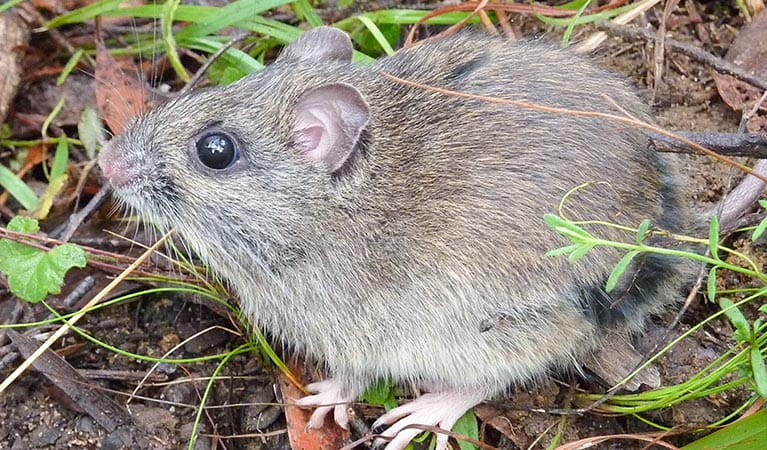 Hastings River mouse (Pseudomys oralis), Carrai National Park. Photo: OEH