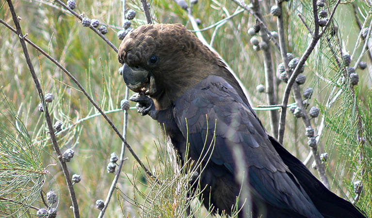 Glossy black cockatoo (Calyptorhynchus lathami), Clyde River National Park. Photo: Michael Murphy