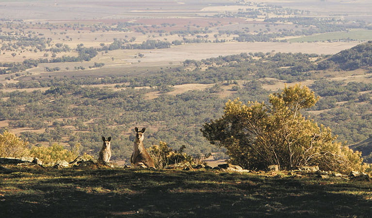 Eastern grey kangaroos (Macropus giganteus) on top of Bundella lookout, Coolah Tops National Park. Photo: Barry Collier