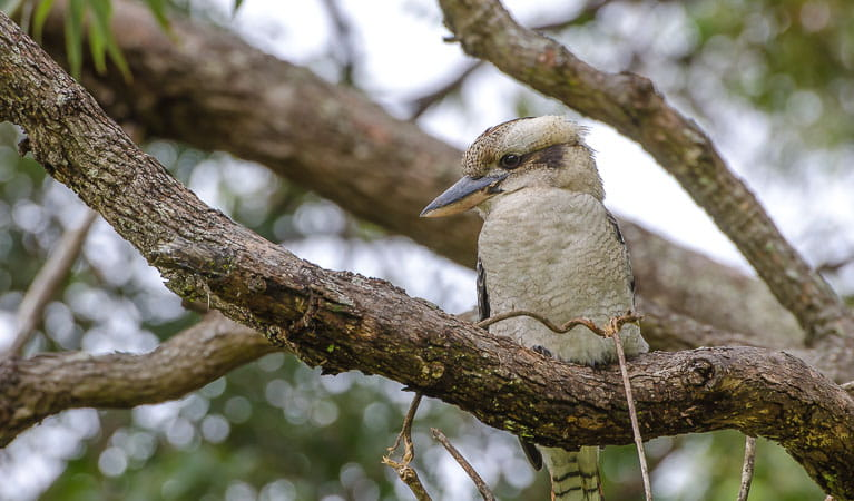 Kookaburra (Dacelo novaeguineae), Crowdy Bay National Park. Photo: John Spencer