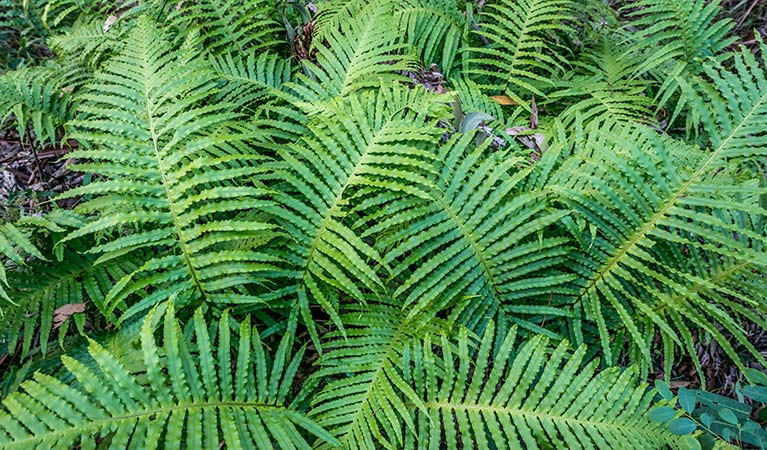 Ferns (Cyathea cooperi), Dalrymple-Hay Nature Reserve. Photo: John Spencer