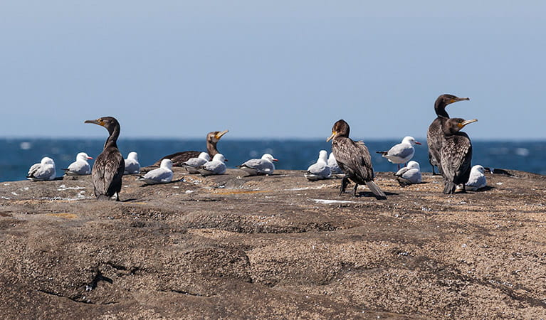 Shore birds at Bingi Point, Eurobadalla National Park. Photo: David Finnegan