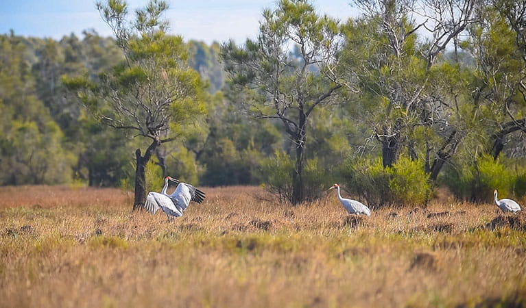 Brolgas in Everlasting Swamp National Park. Photo: Jessica Robertson/OEH