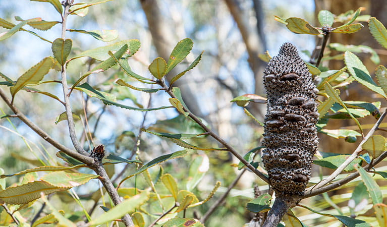 Silver banksia (Banksia marginata), Garigal National Park. Photo: John Spencer