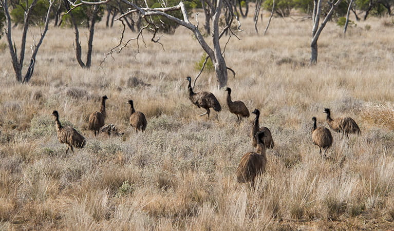 Emus (Dromaius novaehollandiae) in Gundabooka National Park. Photo: David Finnegan