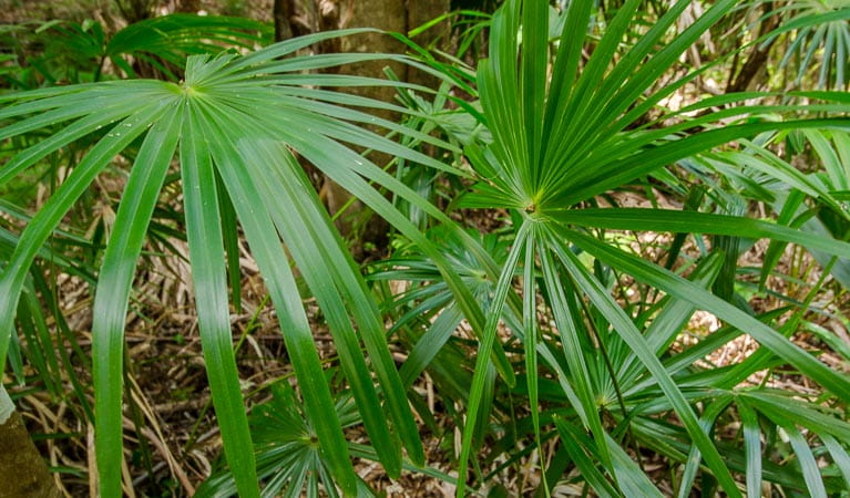 Cabbage tree palm (Livistonia Australis), Illawarra Escarpment State Conservation Area. Photo: John Spencer