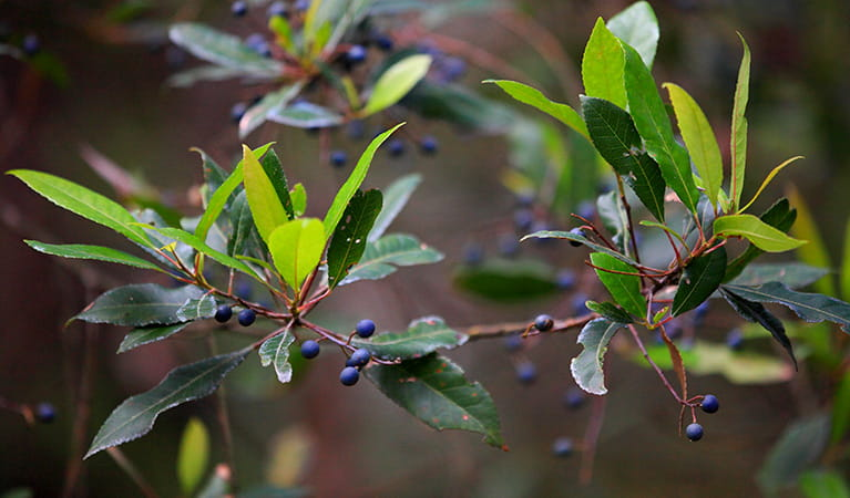 Blueberry ash (Elaeocarpus reticulatus), Meroo National Park. Photo: M Makeham