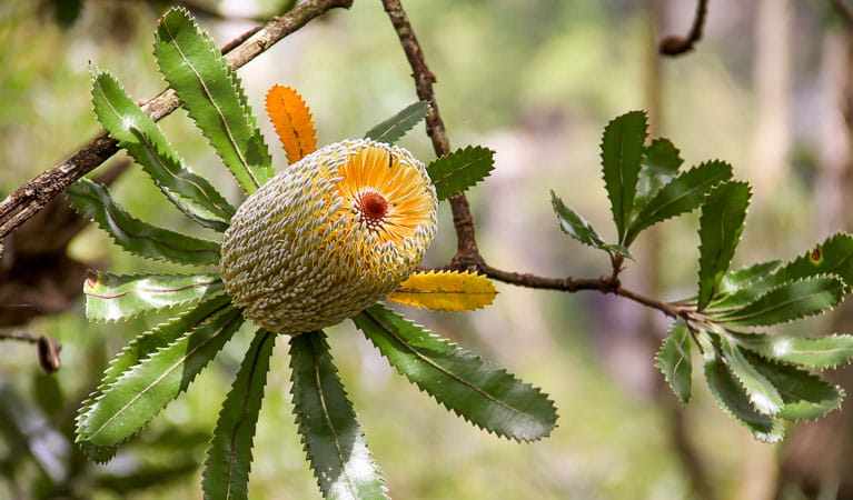 Honeysuckle (Banksia serrata), Morton National Park. Photo: John Yurasek