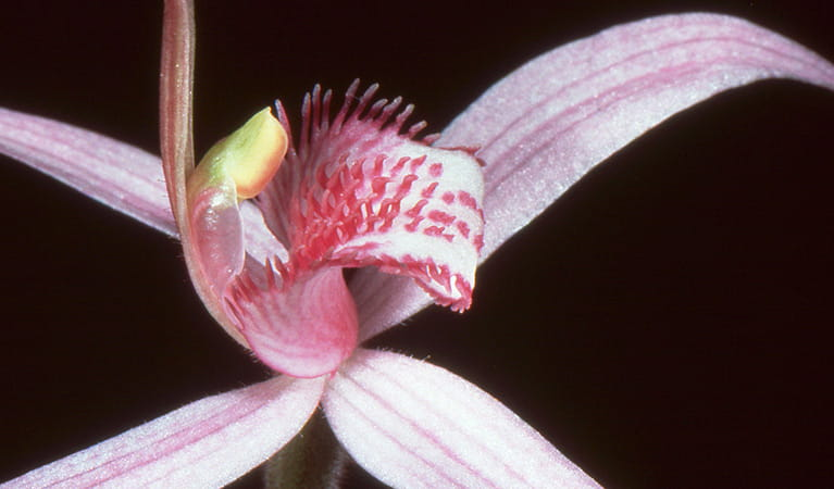 Close up view of a pink spider orchid flower, Mount Canobolas State Conservation Area. Photo credit: Colin Bower © Colin Bower