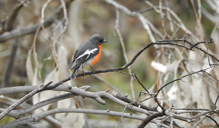 A flame robin on a tree branch in Mount Canobolas State Conservation Area. Photo credit: Rosemary Stapleton/DPIE © Rosemary Stapleton