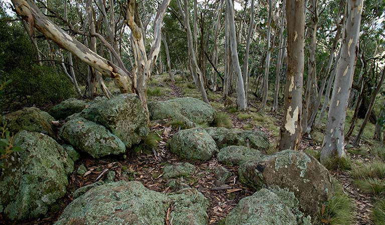 Lichen covered boulders and snowgum forest in Mount Canobolas State Conservation Area. Photo credit: Boris Hlavica © DPIE
