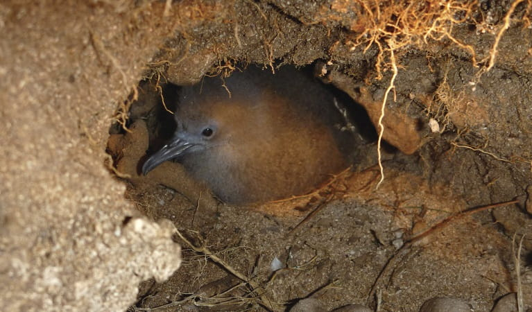 Wedge-tailed shearwater mutton bird in underground nest, Muttonbird Island Nature Reserve. Photo: Rosie Nicolai/OEH