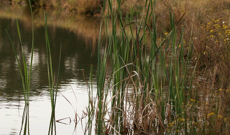 Reeds along the riverbank, Nattai National Park. Photo: Rosie Nicolai