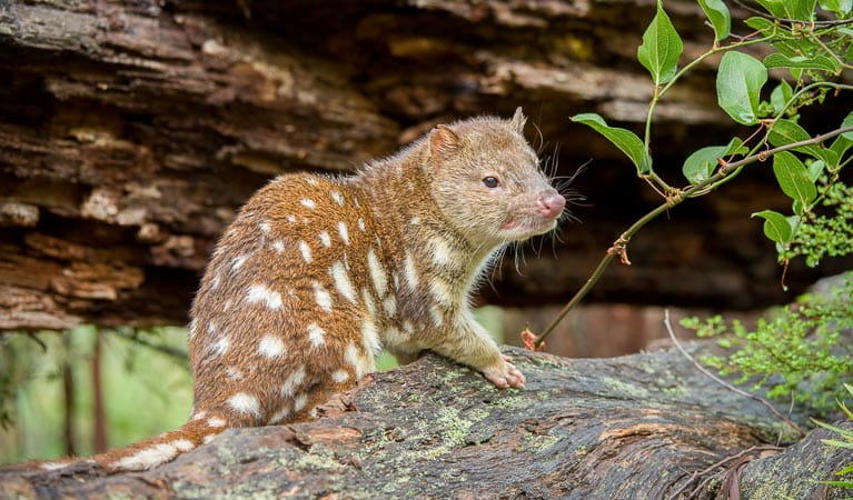 Spotted-tailed Quoll (Dasyurus maculatus), New England National Park. Photo: Jim Evans