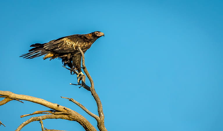 Wedge-tailed eagle (Aquila audax), Oolambeyan National Park. Photo: John Spencer