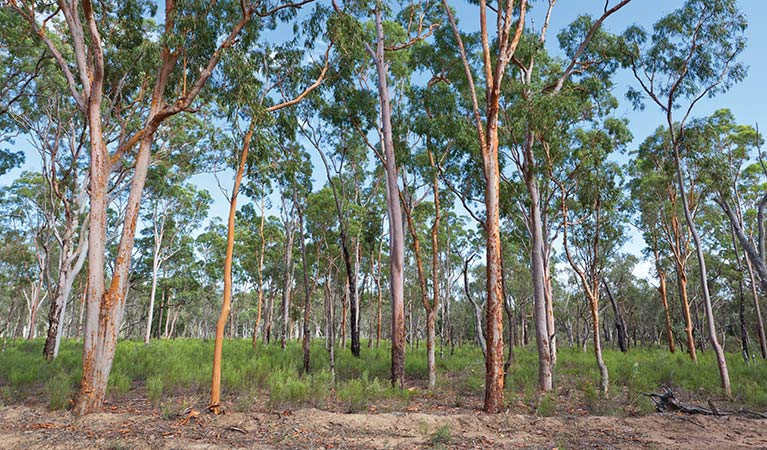 A forest view in Pilliga Nature Reserve. Photo: Rob Cleary