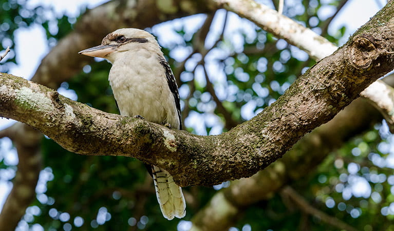 Kookaburra (Dacelo novaeguineae), Saltwater National Park. Photo: John Spencer