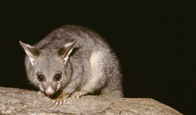 Brush tail possum (Trichosurus vulpecula), Sea Acres National Park. Photo: Ken Stepnell/OEH